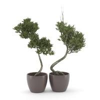 max olive trees