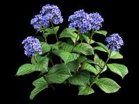 hortensia hydrangea 30