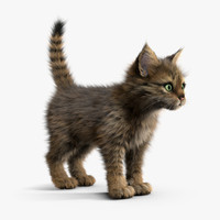 Kitten Tabby