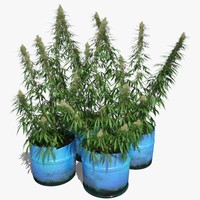 cannabis sativa plants set 3d model