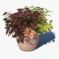 coleus pot plants 3d model
