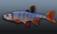 3d model lythrurus redfin shiner