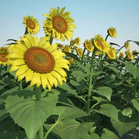 3ds max helianthus field common sunflower