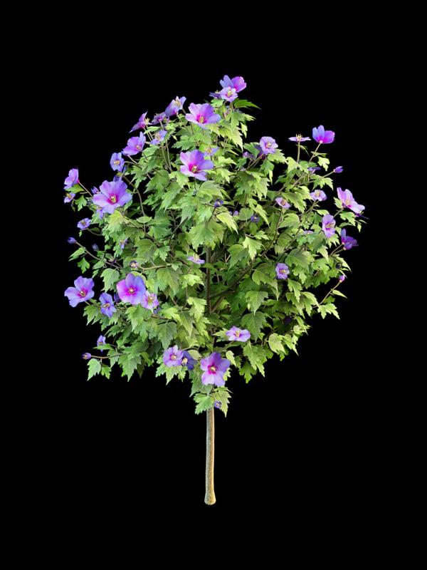 hibiscus _syriacus_4.jpg