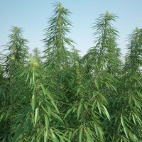 3d model cannabis sativa field