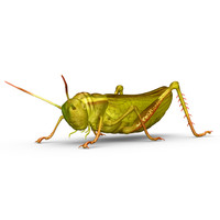 grasshoppers insects crickets obj