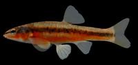 3d model rhinichthys atratulus eastern blacknose