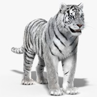 3d tiger white fur