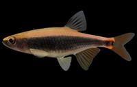 pteronotropis euryzonus broadstripe shiner 3d model