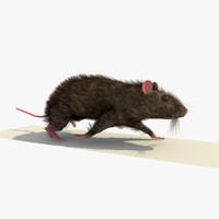 3d brown mouse rat walking