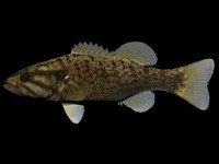 micropterus dolomieu smallmouth bass fbx