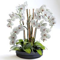 Phalaenopsis Orchid(1)