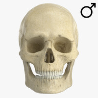 3d model caucasoid male skull