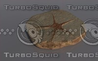 3d fossil astroidea model