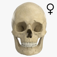 3d caucasoid female skull model