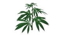 3d hemp cannabis plant