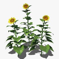 3d helianthus common sunflower