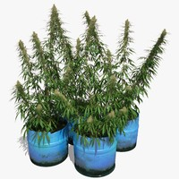 cannabis sativa plants set 3d max