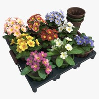 maya common primrose plants pots