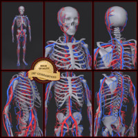 skeleton circulatory max