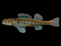 3ds max etheostoma exile iowa darter