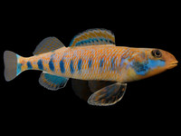 3ds max etheostoma obama spangled darter