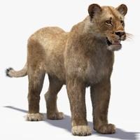 3d model of lioness fur