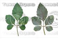 Leaf set 005