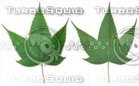 Leaf set 007