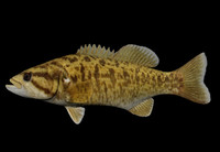 micropterus dolomieu smallmouth bass ma