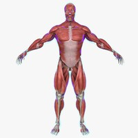 muscle anatomy medical edition 3d model