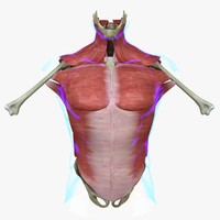 3d muscles torso medical edition model