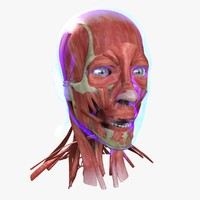 3d muscle face medical edition model