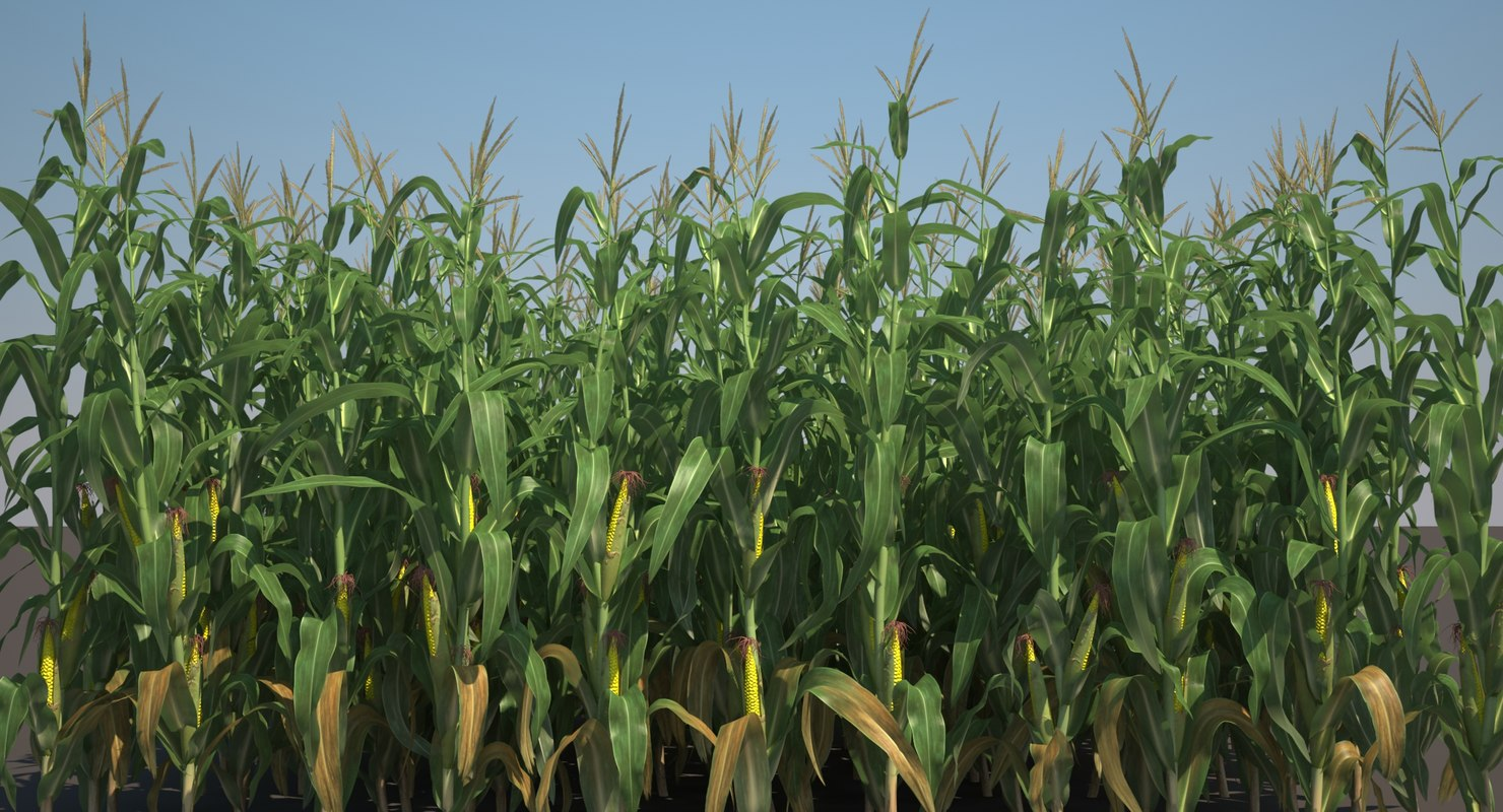 corn_field_001_sinema_wide_signature.jpg