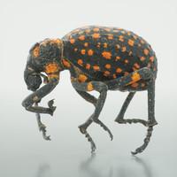 3d model of brachycerus ornatus beetle