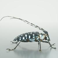 calloplophora sollii beetle 3d model
