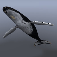 3d model of megaptera novaeangliae female