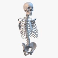 3d torso skeleton