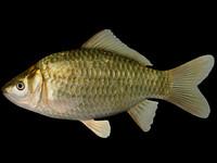 3d carassius auratus goldfish