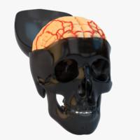human skull brain 3d model