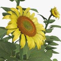 maya helianthus common sunflower