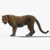 3d model of leopard rigged fur cat