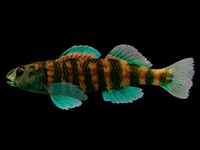 3d model etheostoma lynceum brighteye darter