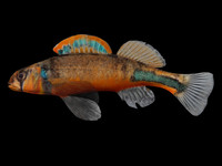 etheostoma punctulatum stippled darter 3d fbx