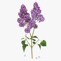syringa lilac 3d model