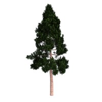 3d model redwood giant