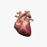 3d model human heart rigged