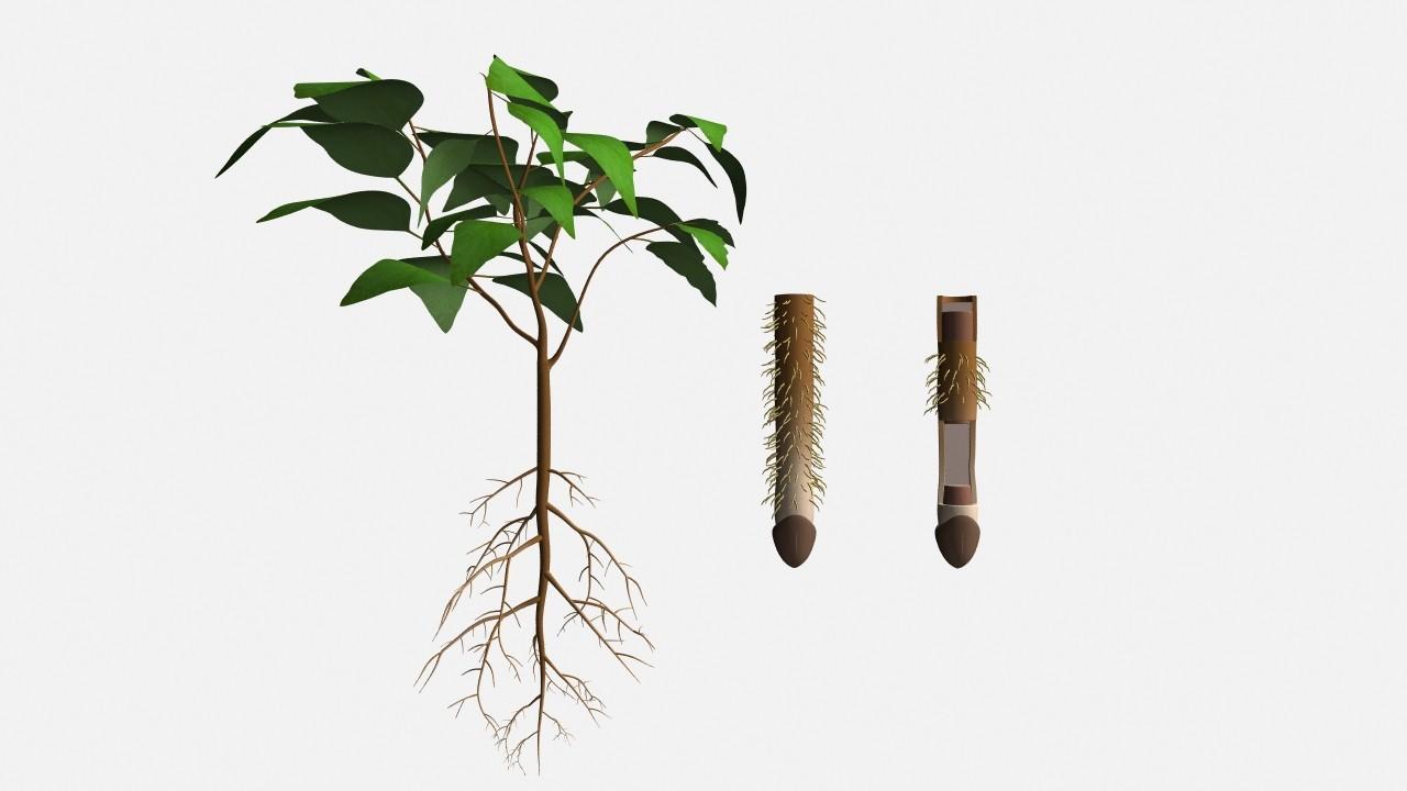 Root tip (root cap)_01.jpg