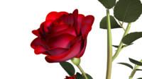 rose plants flowers 3d ma