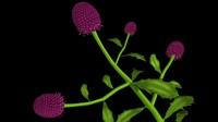 3d sphaeranthus plants stinkwort model